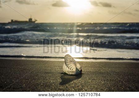 Portuguese man o' war on the sandy beach