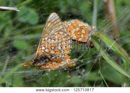 Marsh fritillaries (Euphydryas aurinia) in spider's web. Endangered butterflies in the family Nymphalidae, dead after falling prey to spiders