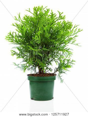 Thujopsis is a conifer in the cypress family Cupressaceae isolated on white background