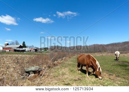 Two beautiful horses grazing in a field during early Spring time.