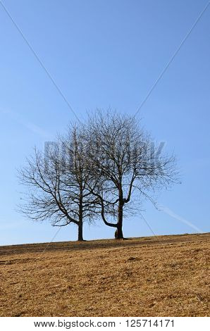 Two trees in a field with blue sky