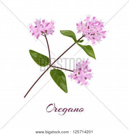Blossoming oregano flowers. Origanum vulgare. Vector illustration.
