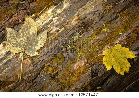 Two yellow leaves on log in fall