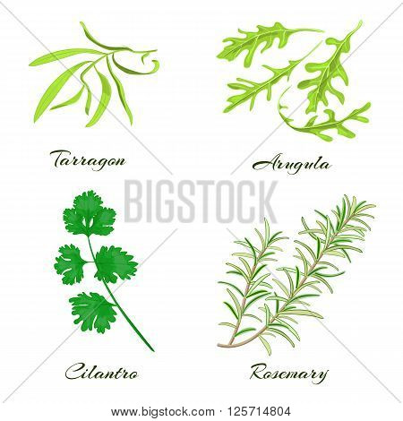 Herbs collection. Tarragon arugula cilantro or coriander rosemary. Vector illustration.