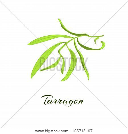 Tarragon herb or Artemisia dracunculus. Vector illustration