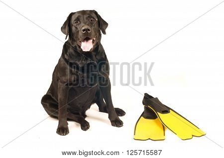 Black labrador retreiver portrait with flippers isolated on white