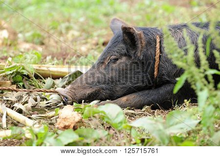 Close-up image of a large black hog tied and resting among weeds.
