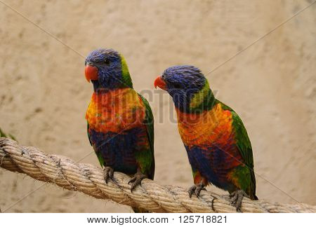 A pair of colorful parrots,  seemingly communicate and chat each with the other ** Note: Soft Focus at 100%, best at smaller sizes