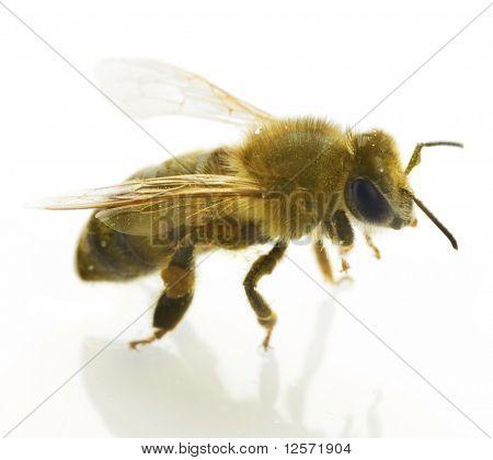Honey Bee isolated on white