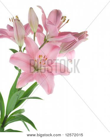 Beautiful Lily flower over white