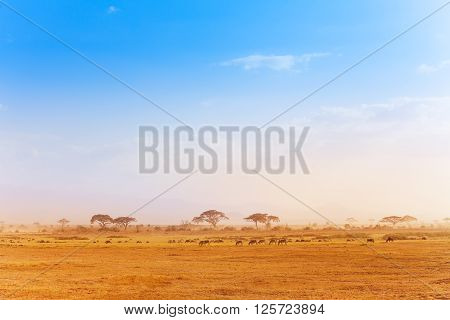 Big zebras herd pasturing and migrating in the distance of African savanna