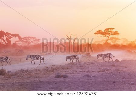 Zebras herd on dusty savanna at sunset, Amboseli, Africa