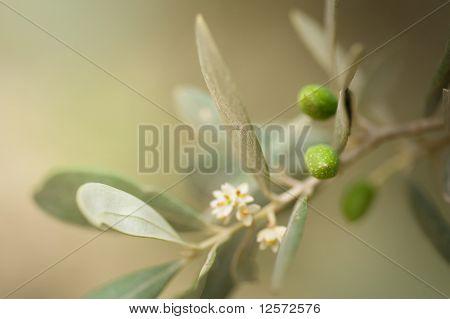 Olives.Very shallow DOF