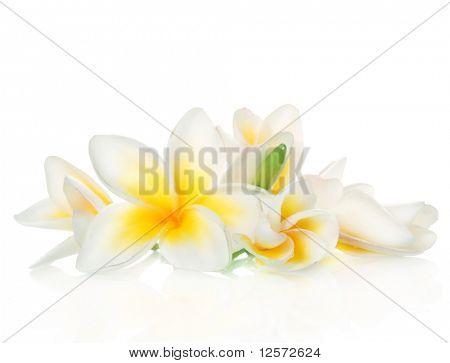 Frangipani Spa Flowers
