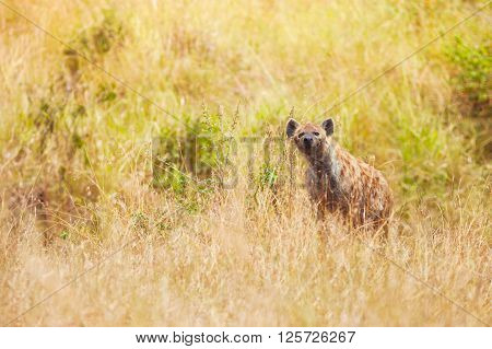 African spotted hyena hunting in the grass at Maasai Mara National Reserve