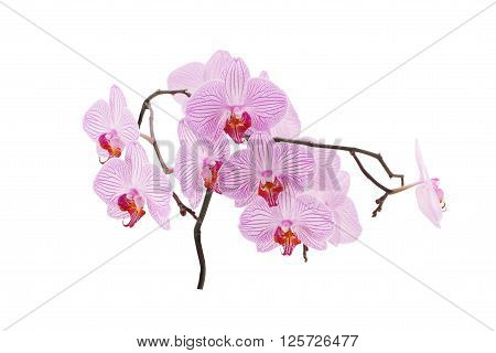 Beautiful orchid flowers. Pink streaked orchid flower isolated on white background.
