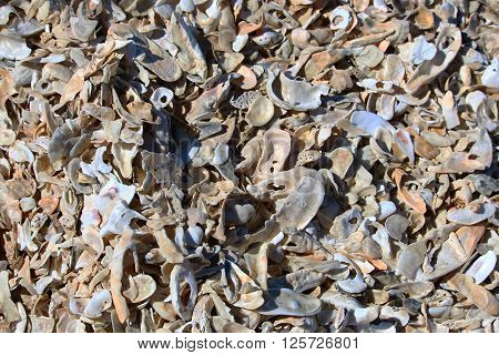 Oyster shells bleached out on beach background