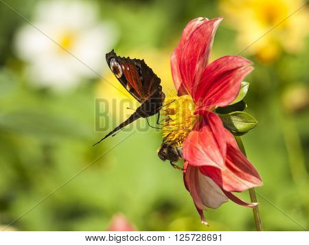 Close up of a summer flower with butterfly and bumblebee