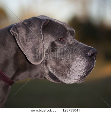 Purebred Great Dane so old it has gray hair