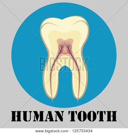 Human tooth emblem sign or symbol of dental clinic flat design logo tooth cross-sectional vector