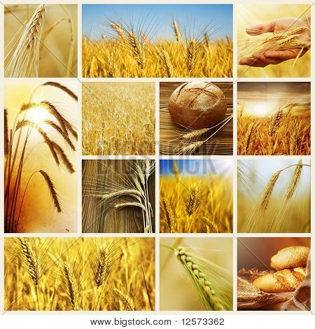 Conceptos de Wheat.Harvest.Collage de cereales