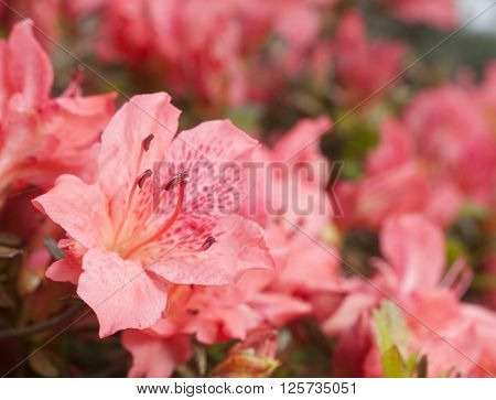 Flowers that are pink on an azalea bush in early spring