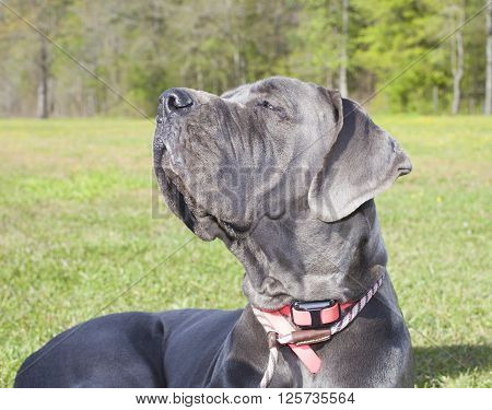 Purebred gray Great Dane that is smelling in the wind