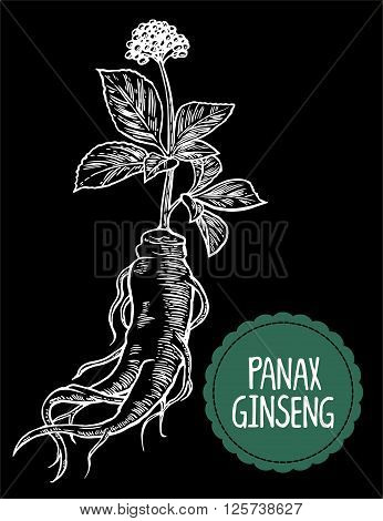 Root and leaves panax ginseng. Vector engraving vintage illustration of medicinal plants. Biological additives are. Healthy lifestyle. For traditional medicine gardening. Black background