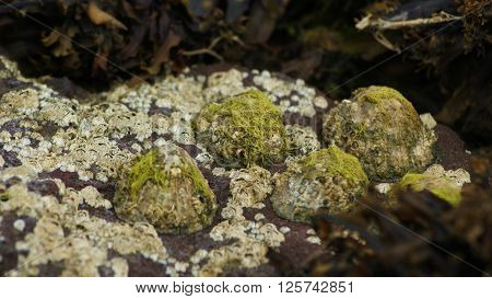 Barnacles and Limpets on a rock with a shallow depth of field