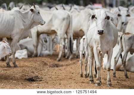 Cattle walking on dirty road - Mato Grosso do Sul - Brazil