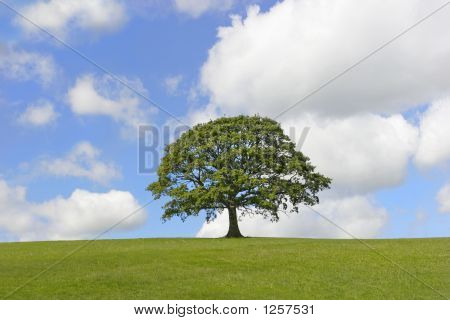 Solitary Oak Tree