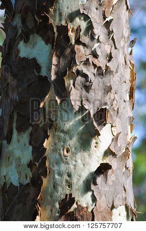 Lemon scented eucalypt tree bark peeling away