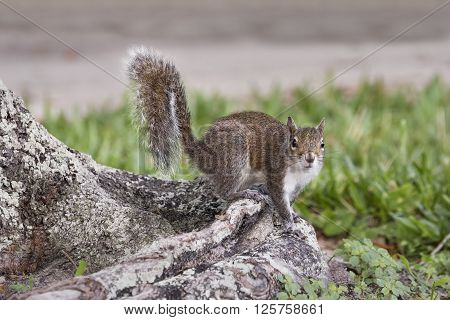 An eastern grqay squirrel perches on a tree root while looking toward the camera.