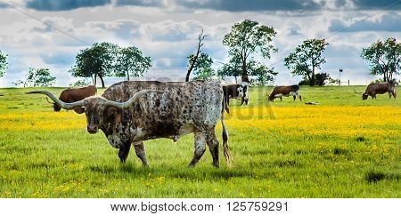 Prideful Texas Longhorn grazing in a field on the farm