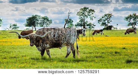 Prideful Texas Longhorn grazing in a field on the farm