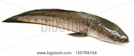 Channa marulius or Giant Snakehead known as gozar fish in Bangladesh