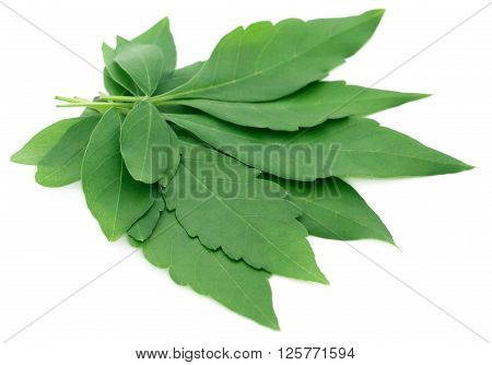 Vitex Negundo or Medicinal Nishinda leaves over white background
