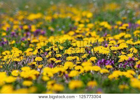 Yellow dandelions on a green field