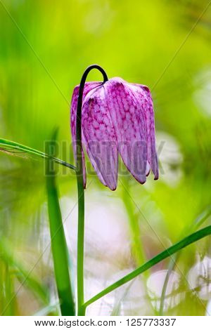 Endangered wild Chess Flower (Fritillaria meleagris)