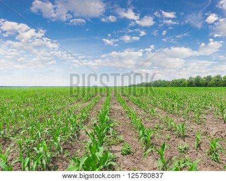 Field with young stalks of maize against the sky with clouds in a spring day