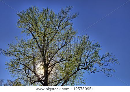 Green tree with sun lit backlight and blue  sky
