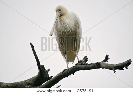 the yellow spoonbill is about 5 metres up on a tree branch