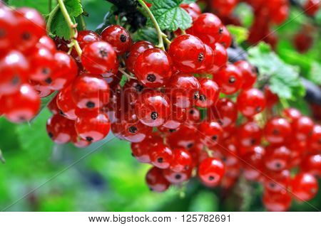 close-up of a red currant in the fruit garden