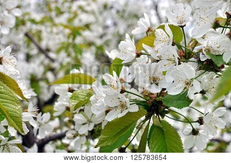 close-up of blooming cherry tree in the springtime