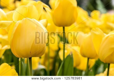 Yellow Tulip in gargen Beautiful bouquet of tulips colorful tulips Yellow tulips in spring with soft focus