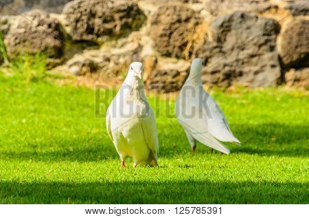 Two white pigeon