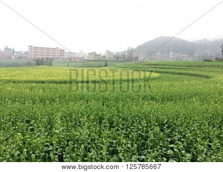 Yunnan Luoping China screw field, here the terrace is a circle, far from looking like screw rotation pattern.