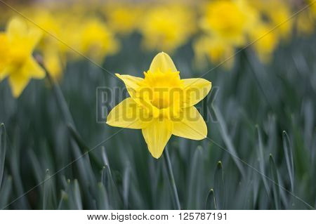 Yellow Narcissus, Jonquil Flower Standing Out Of Daffodil Flowerbed