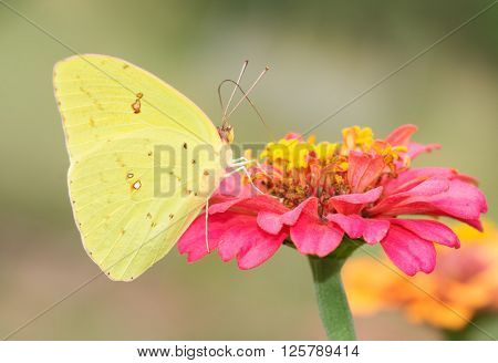 Female Cloudless Sulphur butterfly feeding on a hot pink Zinnia
