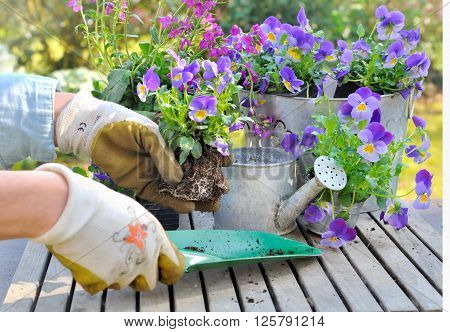 potting flowers in decorative pot on a garden table
